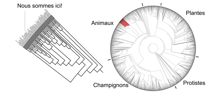 arbre phylogenetique